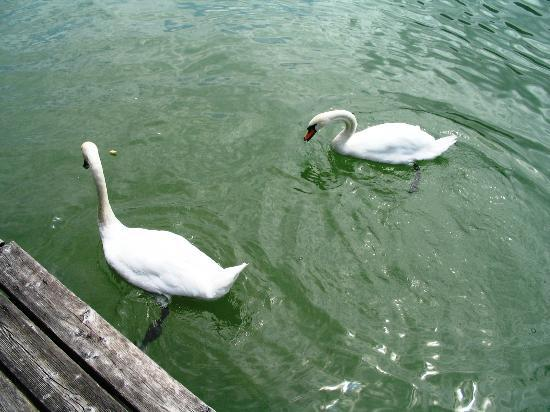Hotel Garni Ilgerhof: Swans on the lake promenade