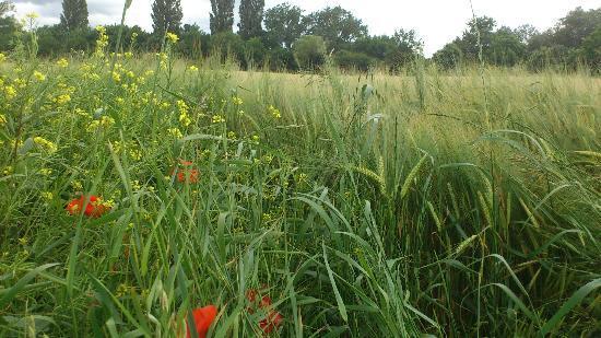 Vitoria-Gasteiz, Spain: Barley growing - Cebada creciendo