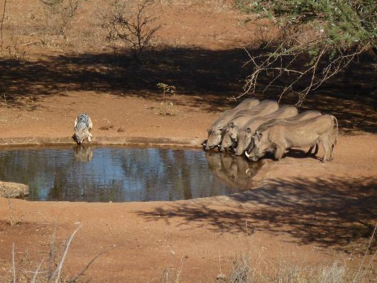 Khaya Ndlovu Manor House: Jackal and Warthogs having a drink