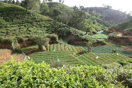 Heritance Tea Factory: Walk in the plantation