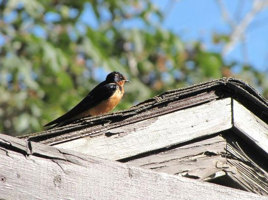 Limekiln State Park: Gorgeous Barn Swallow