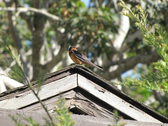Limekiln State Park: A Barn Swallow sitting still !