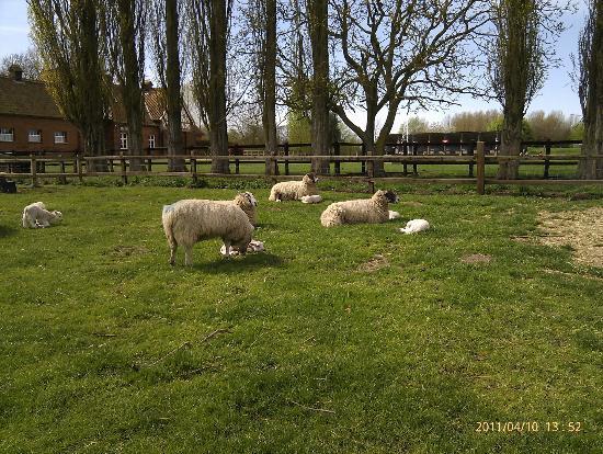 Easton Farm Park: Sheep and lambs in paddocks