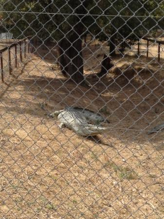 Le Parc Australien : this crocodile used to be alive but turned to plastic waiting for lunch