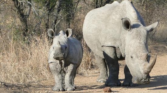 Thornybush Waterside Lodge: Mama Rhino with baby