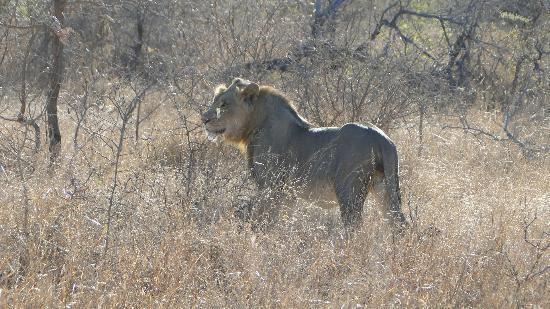 Thornybush Waterside Lodge: Great to see lions on the move