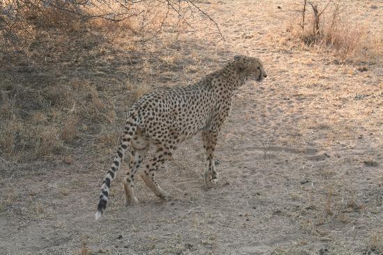 Thornybush Waterside Lodge : Cheeta - a rare find!