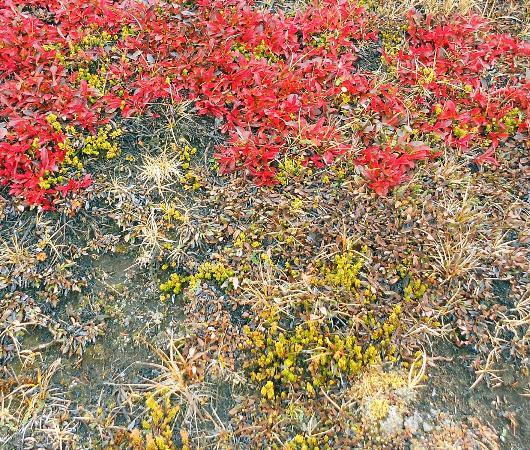 Parker Ridge Trail: Parker Ridge - colourful ground cover