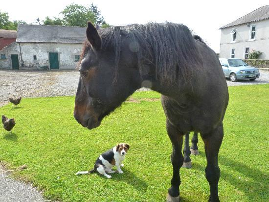 Kilcannon House Bed & Breakfast: Jeff the horse, mac the dog and chickens