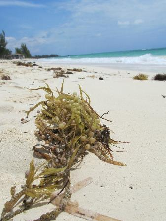 Xanadu Beach : Sea grapes...and crabs.