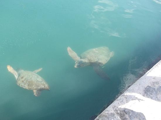 Olive Garden Apartments: Loggerhead Turtles