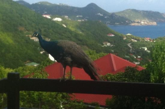 Les Islets Fleuris : un paon sur notre terrasse ce matin !