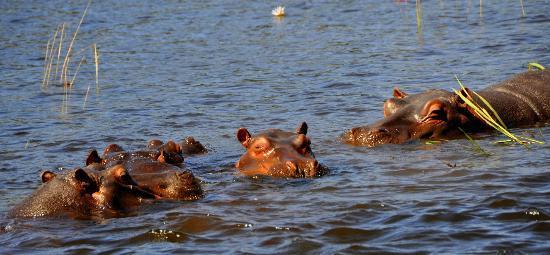 Hippos Picture Of Chobe River Boat Cruises Kasane TripAdvisor - Chobe river
