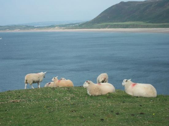 Rhossili Bay: sheep looking out to sea over Rhossilli Bay