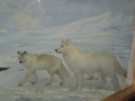 Arctic Wolves - Northern Wildlife Museum, Teslin