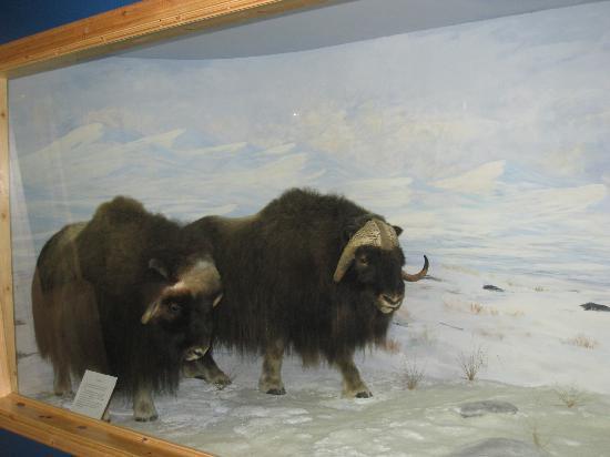 Musk Ox - Northern Wildlife Museum, Teslin