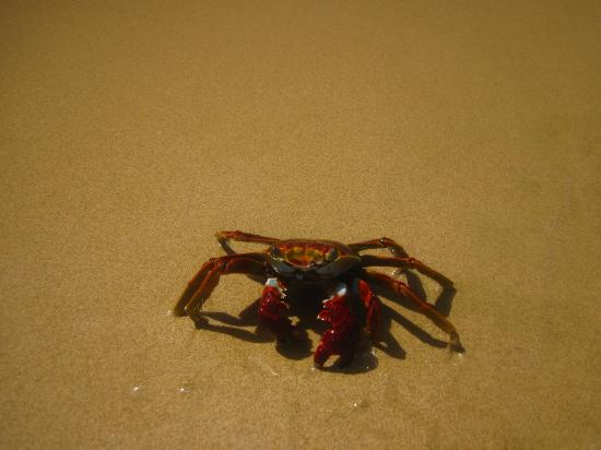 Baia do Sancho: crabs
