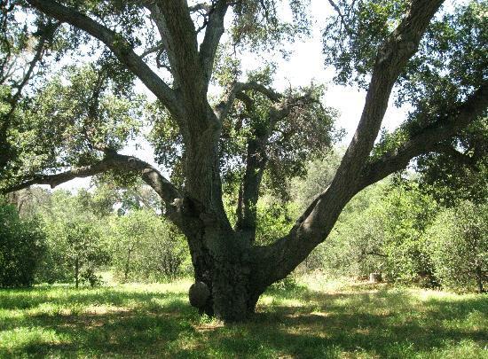 Irvine Regional Park: Century old trees