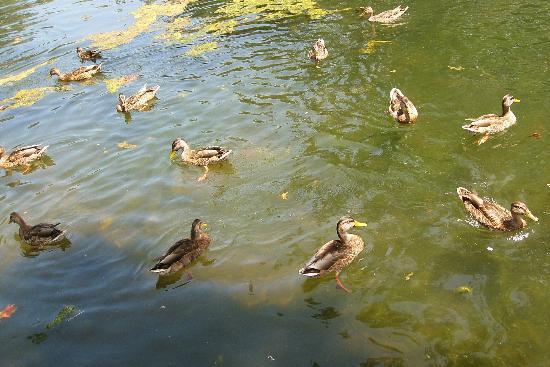 Irvine Regional Park: Lotsa ducks!