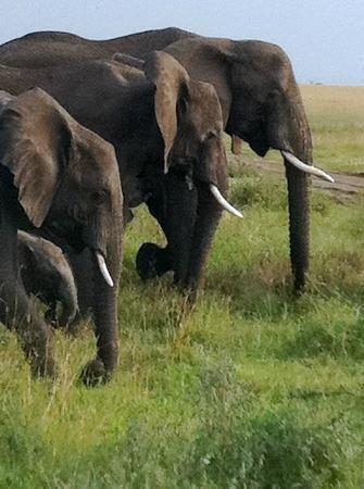 Bright African Safaris: Tembo on the Serengeti