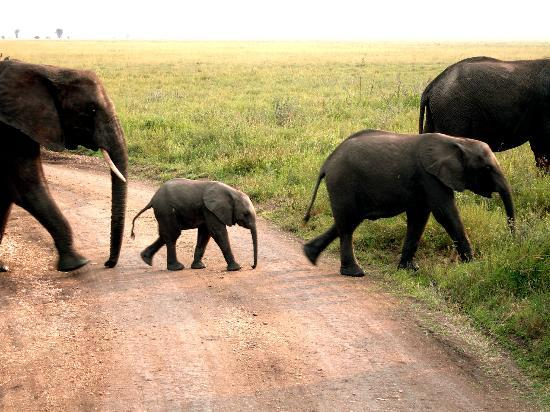 Bright African Safaris: Tembo crossing the road in Serengeti National Park