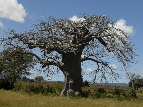 Bright African Safaris: Baobob tree on drive to Dodoma