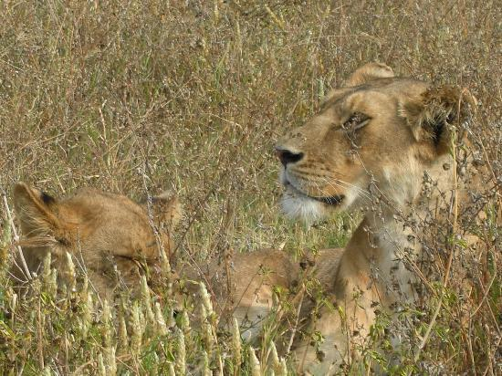 Bright African Safaris: Simba in Ngorongoro National Park