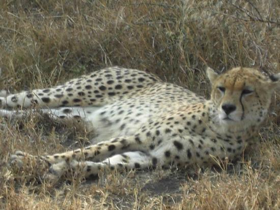 Bright African Safaris: Cheetah in Serengeti National Park