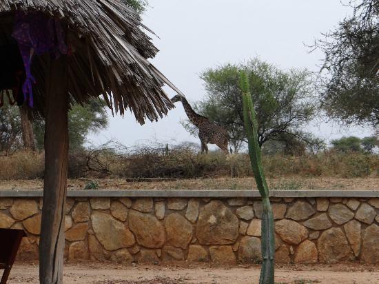 Tarangire Safari Lodge : giraffe near our room