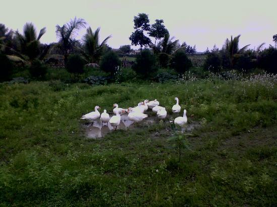 Mandarmoni, India: quack quack