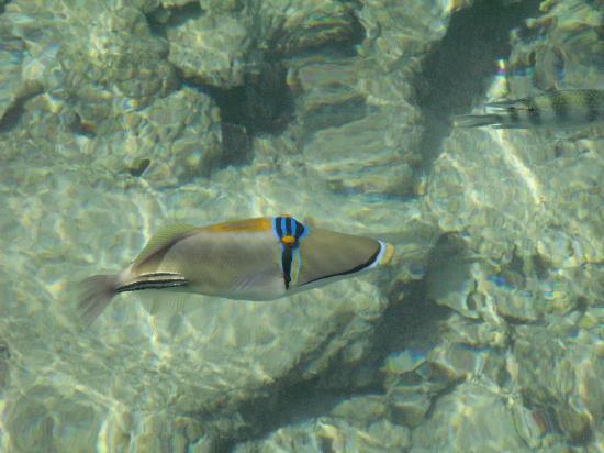 Shark's Bay Beach: Des poissons magnifiques ici un baliste picasso