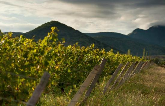 Tarija, Bolivia: Vineyards