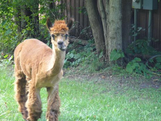 Whispering Waters: The lively alpaca that likes to get out.