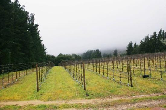 Stony Brook Cottages: Vineyard, with the mountain hiding behind the mist