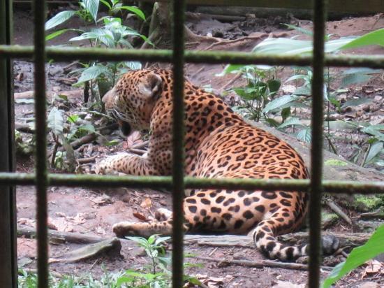 Parc des Mamelles, le Zoo de Guadeloupe: Jaguar