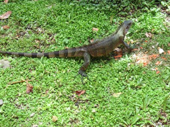 Parc des Mamelles, le Zoo de Guadeloupe: Iguana