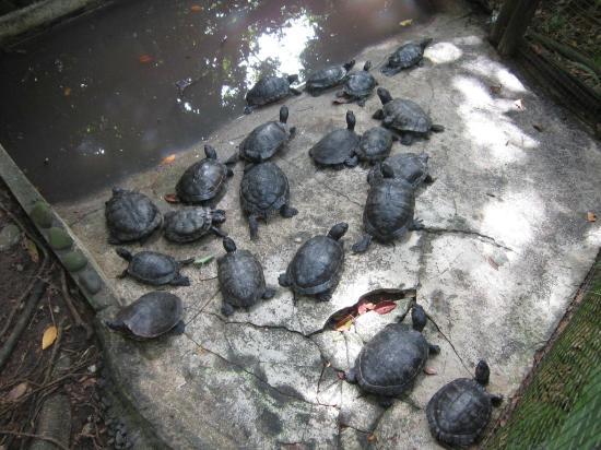 Parc des Mamelles, le Zoo de Guadeloupe: Turtles