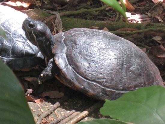 Parc des Mamelles, le Zoo de Guadeloupe: Turtle
