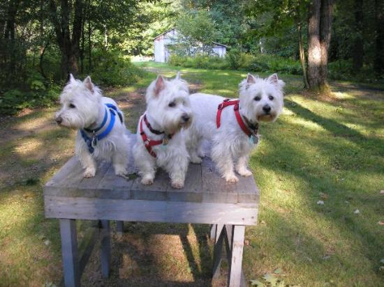 DeSoto Holiday House: Our three Westies