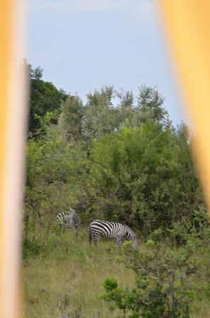 Mara West Camp: see the zebras? tent flaps shown