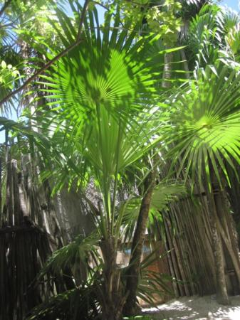 My Tulum Cabanas : palm trees near the dining area