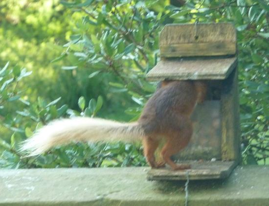Overwater Hall: Red squirrel outside the garden room