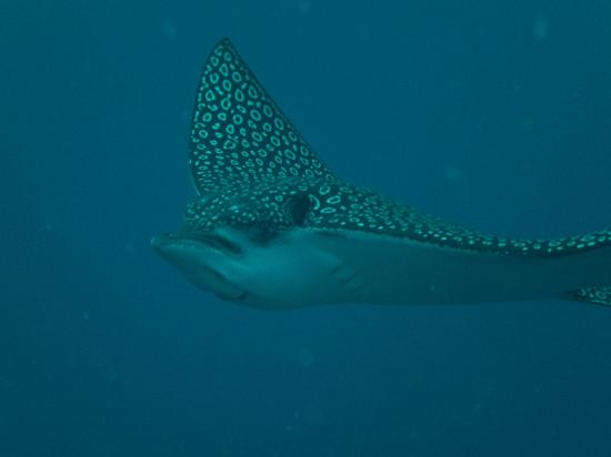 The Villas at Banyan Bay: Eagle Ray -scuba diving