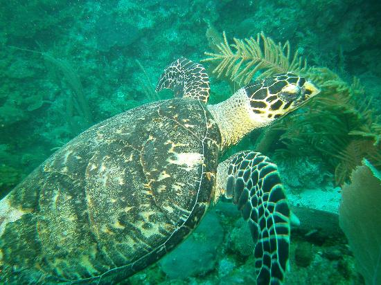 The Villas at Banyan Bay: turtle-scuba diving