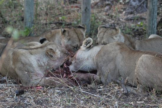 Wilderness Safaris Mombo Camp: Lions' breakfast in the Camp