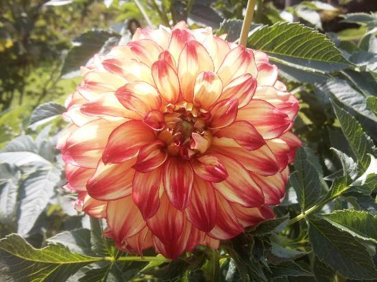 Botanical Gardens Flora : fiori - dalie