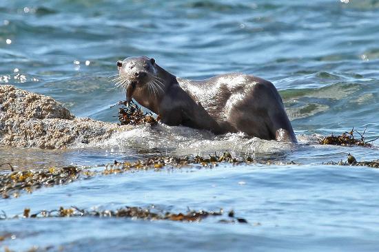 Brockville Bed and Breakfast: Otter magic on Mull