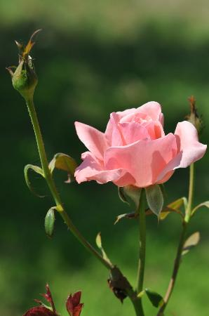 Naxos Hotel Kavos: Roses from the garden