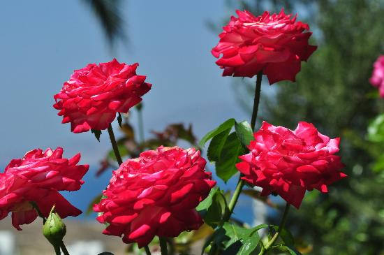 Kavos Boutique Hotel Naxos: Roses from the garden