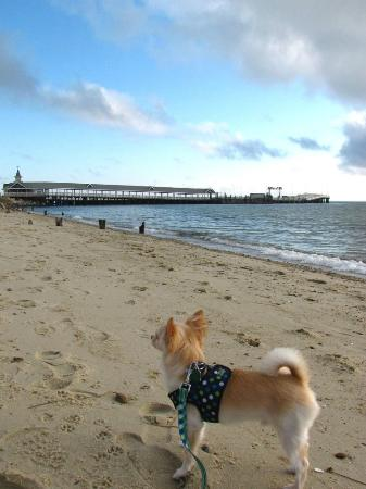 Martha's Vineyard Surfside Motel: Our Chihuahua at Oak Bluffs beach as he gazes at the ferry docks.
